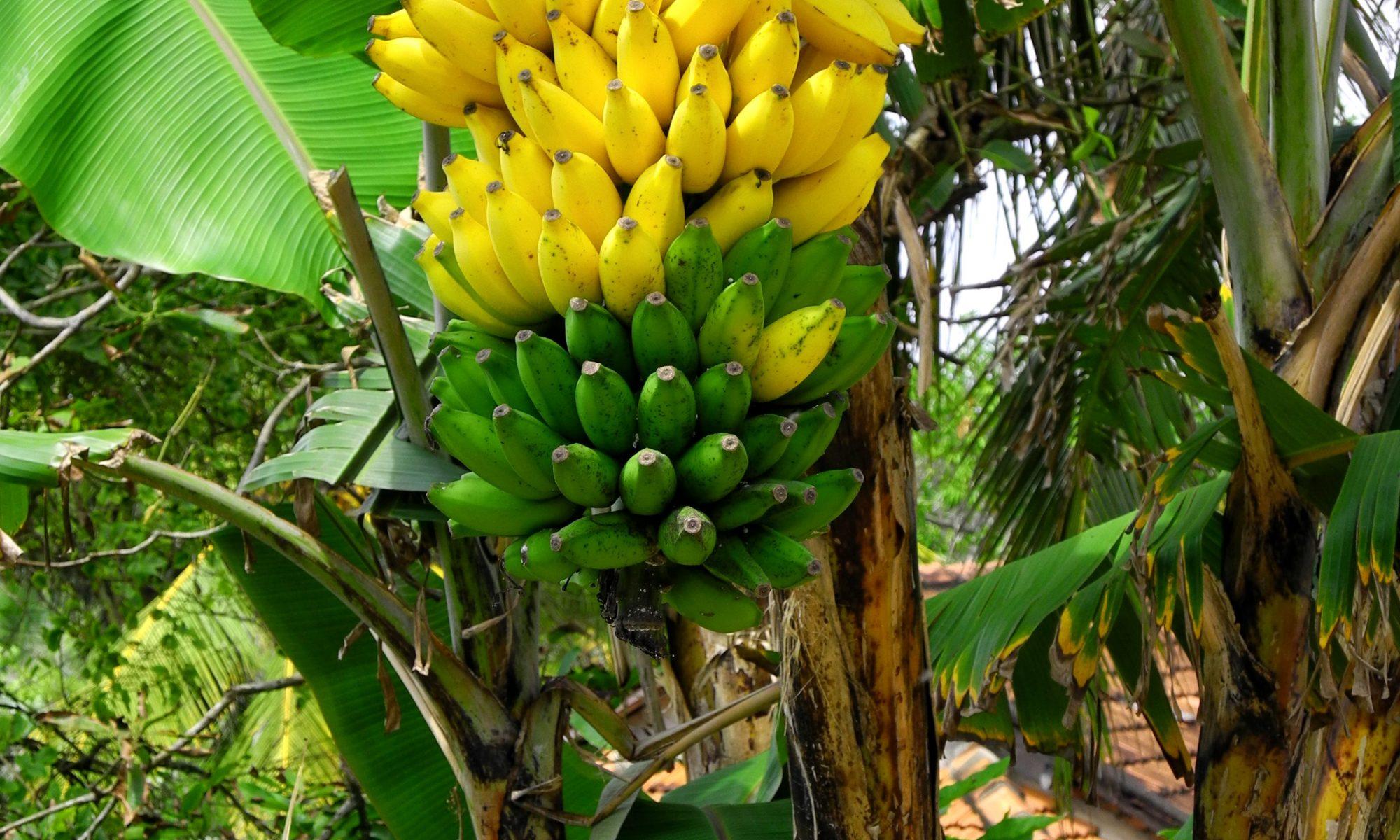 hp-banana1
