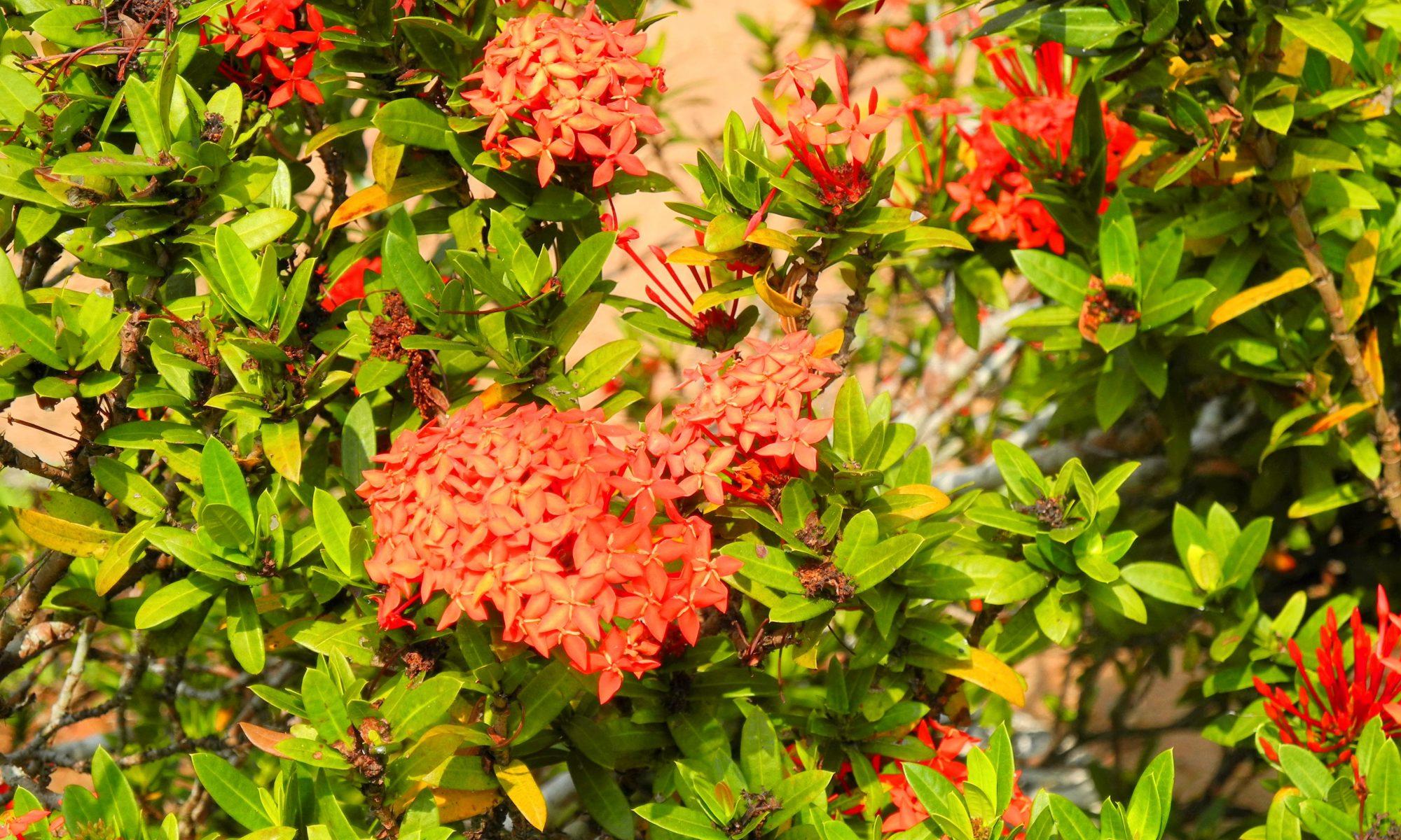 hp-redflower